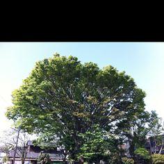 Symbol tree in a park.  気になる木?