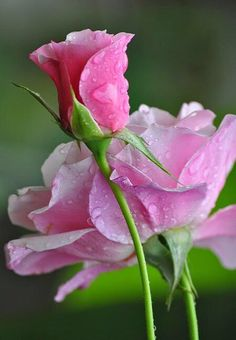 Lovely pink rose, can almost smell the sweet aroma.