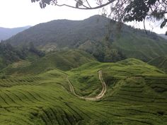 Culture de the campagne malaisienne Cameron highlands