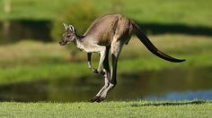 """Image copyright Getty Images  Image caption  There are stiff penalties for unlawfully killing kangaroos and other protected wildlife  Police are investigating after a kangaroo was found shot dead and posed with a liquor bottle in Melbourne.Australian wildlife officials said it was shot at least three times then tied to a chair in a """"tasteless"""" stunt."""
