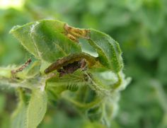 A leaf roller caterpillar on oregano.