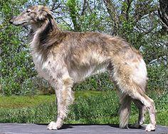 Silken Windhound. USA