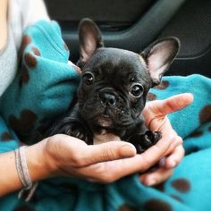 The cutest little Frenchie puppy.