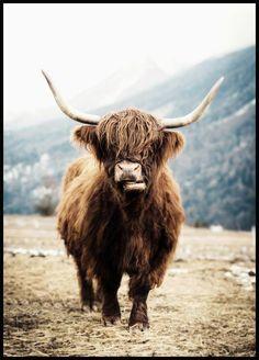 Highland Cow Plakat - Posterstore.dk
