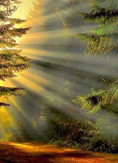 Первые утренние лучи солнца в хвойном лесу. - alla medov - Google+