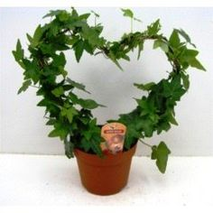 Wonderful Ivy Plant Pair in a Heart Shape -Evergreen indoor plant - hedera green leaf heart - Gift, present, for Christmas, wedding, valentines, anniversary, birthday, xmas, for him, her, husband, wife, parents, mum, dad, brother, sister, boyfriend, girlfriend. Best4garden http://www.amazon.co.uk/dp/B00QX7R9TY/ref=cm_sw_r_pi_dp_Q4WIub0K4Y830