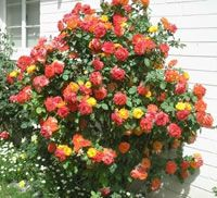 Climbing Pinata Roses. I got one of these for valentines day!!