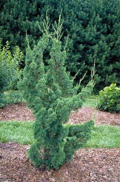 Chinese Juniper (Juniperus chinensis 'Robusta Green')