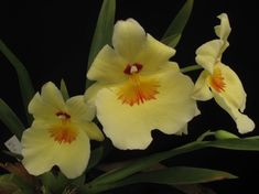 Miltoniopsis - Sociedad Colombiana de Orquideología