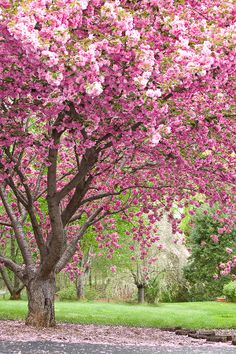 trees pink flowers spring - Google Search