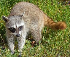 The Cozumel raccoon, also called the pygmy raccoon, is a critically endangered species of raccoon endemic on Cozumel Island off the coast of the Yucatan Peninsula, Mexico.
