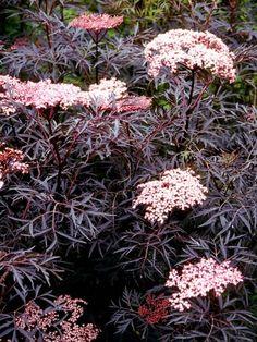 Sureau noir Black Lace 'Eva' - Sambucus nigra