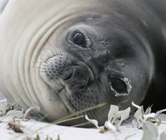 Elephant seal pup, Falklands #greatwalker