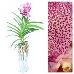 Comparte la belleza de una orquídea con ese ser especial y llena su vida de color, frescura y alegría.   Mas de un buen pretexto para regalar un arreglo floral, infinitos sentimientos que compartir, miles de flores aromas y colores, un solo lugar donde encontrarlo todo.  #SomosLizart arte en las flores.   -55401723 -55204323   *entregas en todo el D.F.