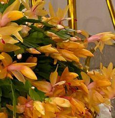 Karácsonyi kaktusz virágoztatása szentestére » Balkonada