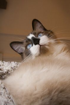 Look Up!  #ragdoll #cat