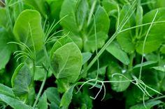 Pea shoots for sandwiches. http://www.skillnadenstradgard.blogspot.se/2015/01/smorgasgronsaker-att-odla-i-var.html #garden #gardening #vegetables #trädgård #odla #grönsaker