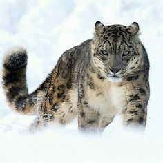 Snow Leopard Noble Photography by @mz_images #Wildgeography More