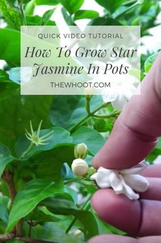 Backyard landscaping how to grow star jasmine in pots Three Keys To Teaching Your Child The Alphabet