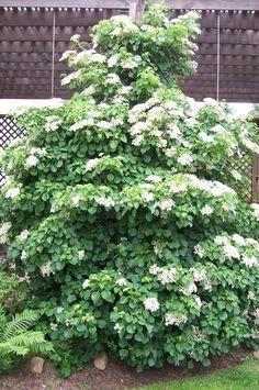Climbing Hydrangea How Does Your Garden Grow