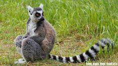 lemurien parc des félins
