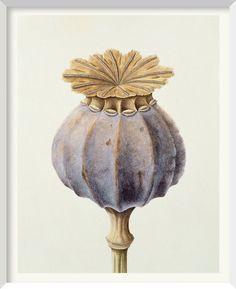 Brigid Edwards - Opium Poppy Seed Head 1999, watercolour on vellum 38.1 x 30.5 cm