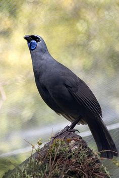 Kōkako is an endangered forest bird which is endemic to New Zealand. It is slate-grey with wattles & a black mask. It is one of three species of New Zealand Wattlebird, the other two being the near threatened Tieke (saddleback) & the extinct Huia. Love Birds, Beautiful Birds, Kiwiana, Bird Pictures, Horse Pictures, Colorful Birds, Fauna, Wild Birds, Bird Watching