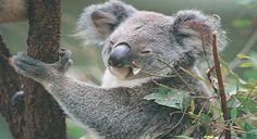 Koala Early Settler, Water Activities, Victoria, Australia, Bear, Animals, Animales, Animaux, Bears