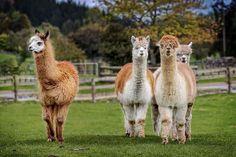 Llama Alpaca, Baby Alpaca, Alpaca Wool, Alpaca Facts, Farm Animals, Cute Animals, Chicken Garden, Chicken Coops, Urban Chickens