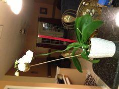 My orquídea