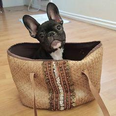 Mom. Are you ready ? #frenchie #frenchielover #frenchbulldog #instafrenchie #cutepuppy #frenchiepuppy #batpig #socalibullies #califrenchie #myfrenchie #dogsoninstagram #puppygram #myfrenchie...