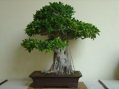 LAUREL: Indian, Ficus retusa