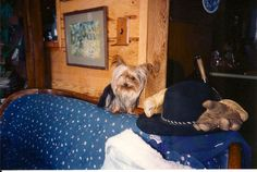 I so miss this little Yorkie. Cyndle. When papa takes his gloves off its time for me to snuggle. :0) #yorkielove