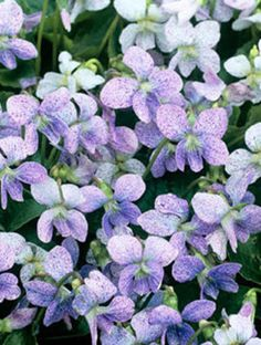 How to Find the Right Ground Cover PerennialsViolet 'Dark Freckles' This variety of Viola sororia is moderately fast-growing and sports freckled purple flowers in mid-spring. When combined with shade-loving mosses, it creates a woodland effect. ZONES 4-11