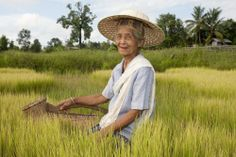 thailand farmers  straw hats | old Asian woman at the paddy-field
