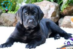 You can get a new puppy today by viewing our adorable newborn puppies of many different breeds! Find a new furry friend that's perfect for you and your family! Labrador Retriever, Labrador Puppies, Retriever Puppies, Corgi Puppies, Black Puppy, Black Dogs, Puppies For Sale, Cute Puppies, Yellow Lab Puppies