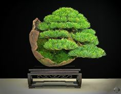 RK:五葉松:Goyo matsu bonsai