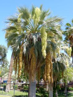 Blue Hesper Palm Tree (Brahea armata)