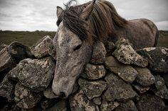 Connemara pony from Connemara, Ireland All The Pretty Horses, Beautiful Horses, Animals Beautiful, Cute Animals, Beautiful Beautiful, Connemara Pony, Connemara Ireland, Galway Ireland, Clydesdale
