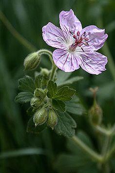 Geranium caespitosum - Wild geranium - Geranium Family (Geraniaceae) - Summer - Colorado Wildflower