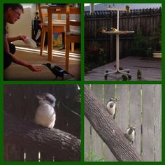 #photoadayMAY - bird. These are a few of the birds that hang out at my place. The Magpie, her name is Annie, she's a regular since she was a baby. As is her now 'husband' Louie. As you can see, she's rather comfortable with us :)