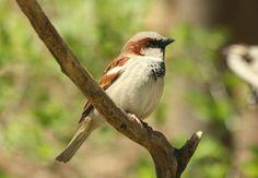 House Sparrow, male House Sparrow, Bird Book, Backyard Birds, Blessed, God, Animals, Dios, Animales, Animaux