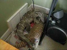 Bosc cuddles monitor savannah