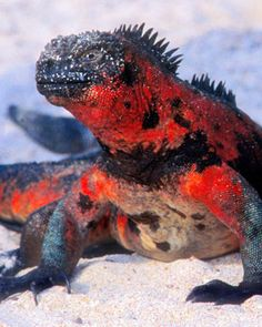 The only aquatic iguana in the world! Galápagos Islands