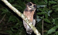 Aves de Rapina BR | Corujas e seus poderes de caça - Murucututu-de-barriga-amarela