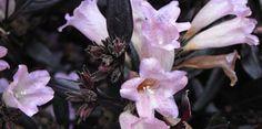 Strobilanthes  anisophylla ....GoldFussia