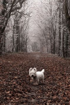 Beautiful! #westhighlandwhiteterrier #dogs