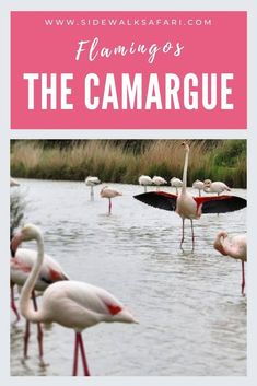Discover the pink flamingos of the Camargue France. Learn about things to do in the Camargue. Explore nature in Camargue France. European Road Trip, Road Trip Europe, European Travel, Road Trips, Travel Around The World, Around The Worlds, Stuff To Do, Things To Do, Once In A Lifetime