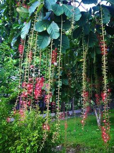 ต้นจิกสวน