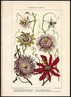 1900s Botanical Print Passion Flowers Antique illustration Lithograph Bookplate - Great to Frame. $12.00, via Etsy.